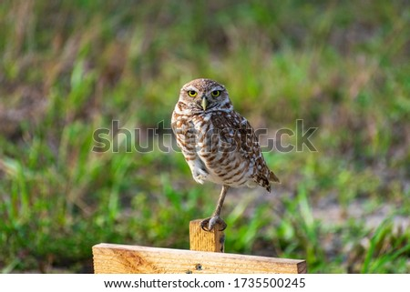 Single Burrowing Owl portrait perched, South West Florida Wildlife, Cape Coral, Royalty free image, Protected Species, Bird of prey, Conservation
