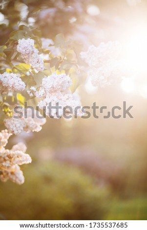 White lilac blossoms blooming in springtime with beautiful bokeh