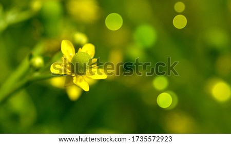 Common Buttercup, alkali buttercup,wild, flowering plants in Ranunculaceae family. Fresh tall buttercup have five overlapping petals.. #1735572923