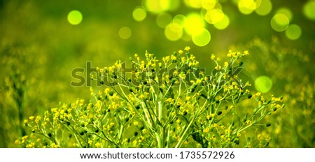 Common Buttercup, alkali buttercup,wild, flowering plants in Ranunculaceae family. Fresh tall buttercup have five overlapping petals.. #1735572926