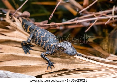 A young American alligator (Alligator mississippiensis) hatchling on a dried palm frond in the Merritt Island National Wildlife Refuge in Florida, USA.