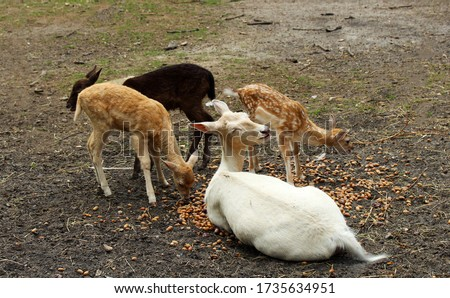 White fallow deer sitting with the small brown fallow deers eating food.