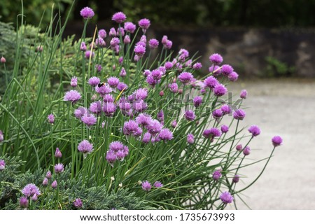 Allium schoenoprasum - bulbous ornamental plant with pink flowers, a plant for decorating urban flower beds #1735673993