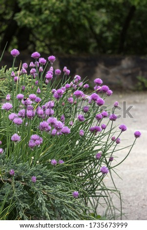 Allium schoenoprasum - bulbous ornamental plant with pink flowers, a plant for decorating urban flower beds #1735673999