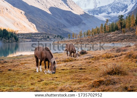 The horses grazing in the valley of river Akem on backgroind of Mountain Belukha. Altai Mountains, Russia. #1735702952