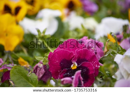 Multicolor pansy flowers or pansies as background or pattern. Field of colorful pansies with white yellow violet flowers.