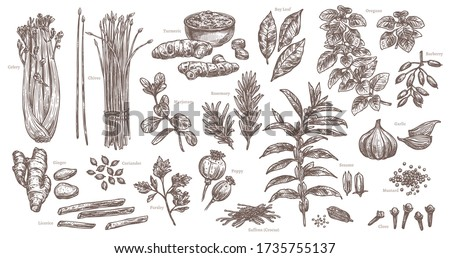 Sketch spices and herbs. Isolated set of celery, chives, garlic, ginger, sesame. Hand drawn branches and leaves of oregano and rosemary. Vector food and ingredient illustration #1735755137