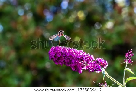 A down view of an Amazing Hummingbird Moth flying around some flowers getting some nectar.