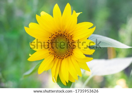 Small bright yellow sunflower on a green background #1735953626