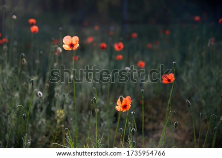 The dominant red.The sun's rays illuminate the poppy flower.Poppy lawn in the sun.The aroma of magic in floral design.Magazine picture poppy environment.