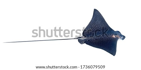 Spotted Eagle Ray (Aetobatus narinari) Isolated On A White Background. Close Up Of Dangerous Underwater Leopard Stingray Soaring In Red Sea, Egypt. Indo-Pacific Coral Fish, Cut Out. Royalty-Free Stock Photo #1736079509