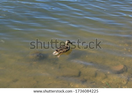 Duck on the shore of a pond in a city forest park #1736084225