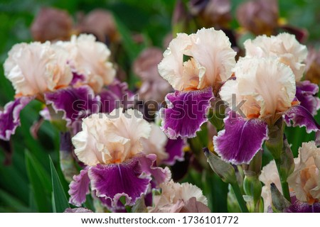 Close up of purple iris flowers. Lot of irises. Large cultivated flowers of bearded iris (Iris germanica). White and violet iris flowers are growing in garden