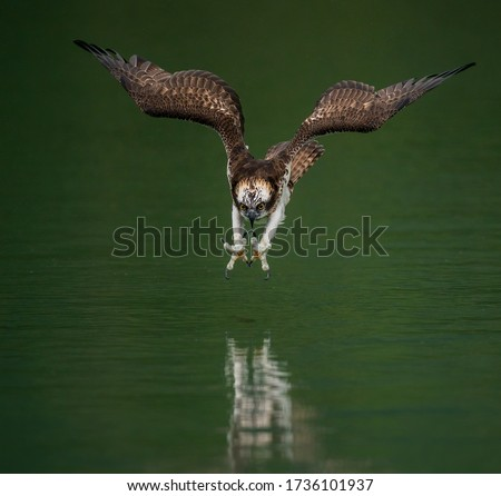 An amazing picture of an osprey or sea hawk hunting a fish from the water