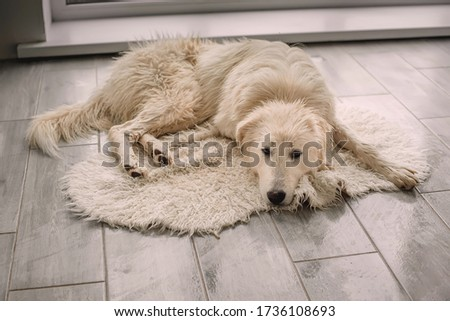 Sad big wet dog (Maremma-Abruzzi shepherd dog ) lying on the Mat after bathing . Washing a dog