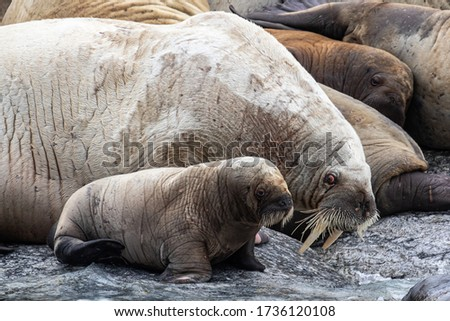 Walrus mother and her baby on Svalbard in the Arctic