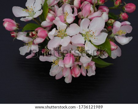 White and pink apple flowers on a black background closeup. Bright spring picture with blooming for the screensaver, wallpaper, card design, cover printing.