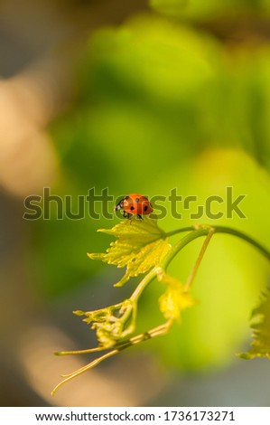 Little beautiful ladybug at the young grape leaves on the blurred green background. Bright picture, summer nature concept.