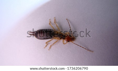 Close up of Earwig on a white background. Closeup earwig Earwigs will use their pincers to defend themselves | close up . animals, animal insect, insects . bug, bugs, wildlife . wild nature.