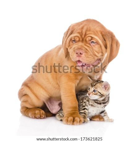 Bordeaux puppy dog and bengal kitten together. isolated on white background #173621825