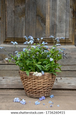 Vertical photo of a basket with forget-me-nots on a wooden background. Spring backdrop.