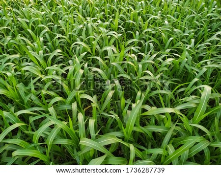 Grass  crop growing for fodderwhich gives highly succulent and nutritionally richfodder. Royalty-Free Stock Photo #1736287739