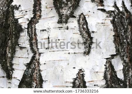 pattern of birch bark with black birch stripes on white birch bark and with wooden birch bark texture #1736333216