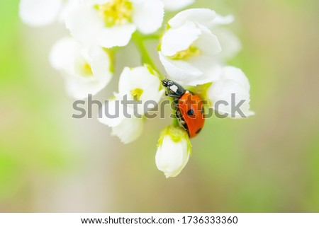 Blooming bird cherry close-up. A ladybug is sitting on one of the flowers. Detailed macro photo. Beautiful white flowers. Great image for postcards. The concept of spring, summer, flowering.