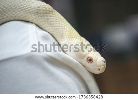 Head shot of Burmes python on scruff.The Burmese python(Python bivittatus) is one of the five largest species of snakes in the world.The Burmese python is a dark-colored snake with many brown blotches