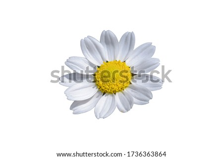 beautiful and delicate daisy flower on a transparent background