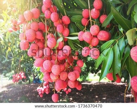 Fresh lychee on the tree in the Thai garden,Lychee on the ground with morning sun,Harvest Lychee in Thailand Garden,it is a export product fruits of Thailand #1736370470