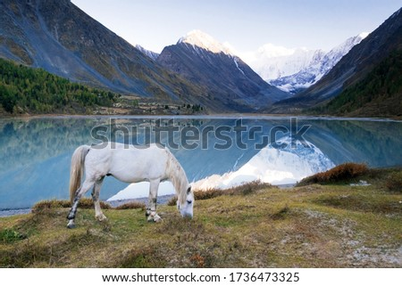 The white horse grazing in the valley of river Akem on backgroind of Mountain Belukha. Altai Mountains, Russia. #1736473325