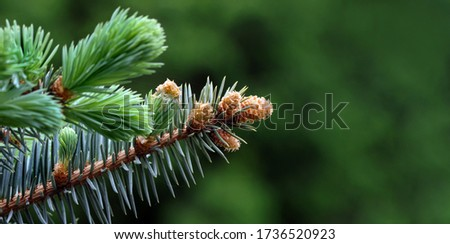 young branches of a spruce tree. blooming spruce. spruce in spring. close up. selective focus. copy space Royalty-Free Stock Photo #1736520923