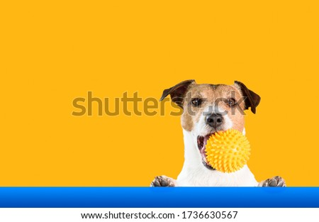 Dog holding doggy toy ball in mouth with bright background #1736630567