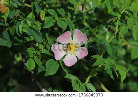 honey bee on a prairie rose or wild rose in bloom in springtime in Italy Latin rosa canina and similar to a sweet briar also called eglantine state flower or state symbol of Iowa and North Dakota #1736845073