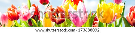 Colourful panoramic spring banner of fresh tulips in vibrant yellow, pink and red growing in a field under a sunny blue sky, closeup of the fragile petals
