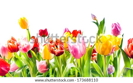 Beautiful spring background of colourful tulips in vibrant reds, yellow and pink isolated on white with copyspace