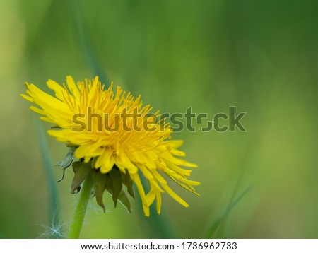 Yellow sow-thistle flower in a green grass meadow, yellow dandelion on green background, perfect for background, texture, macro photopraphy