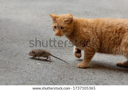 The mouse runs away from the cat. The cat catches up with the mouse. Cat and mouse. The mice are hunting. Cats on the prowl.Cats and mouse in the courtyard of an apartment building in St. Petersburg. #1737105365
