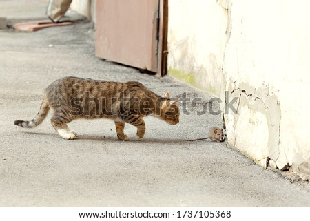The mouse runs away from the cat. The cat catches up with the mouse. Cat and mouse. The mice are hunting. Cats on the prowl.Cats and mouse in the courtyard of an apartment building in St. Petersburg. #1737105368
