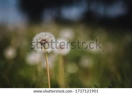 Dandelion closeup. Dandelion in summer park. Dandelion blowing in green park.