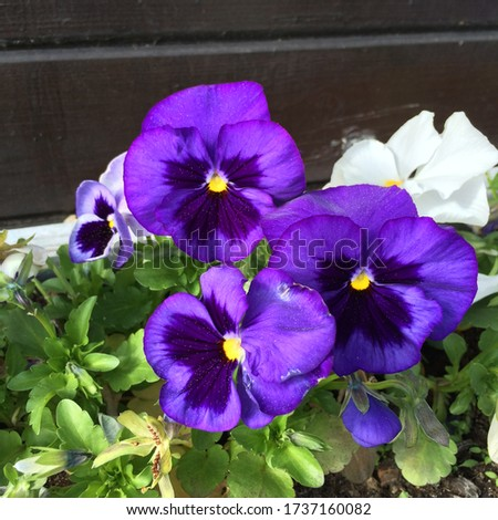 Purple pansy flowers are blooming in a rustic flower pot in the springtime garden. Colorful background from flower pansy.  Gardening and Floriculture. Mother's day banner, card or gift. Copy space.
