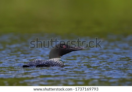 Common Loon Gavia immer swims in spring on Wilson Lake, Que, Canada