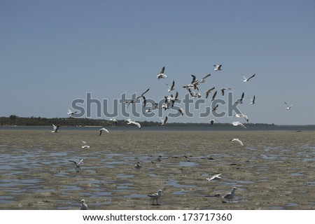 A flock of graceful white seagulls Laridae in the sub-order Lari  flying  over the Leschenault estuary near Bunbury western Australia on  a summer afternoon. #173717360