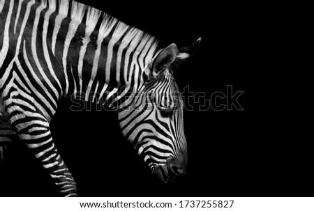 Sad Black And White Zebra Walking On The Black Background