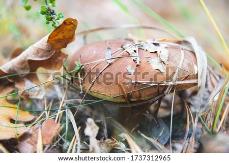 Close up picture of big brown mushroom in the forest between green grass, pine branches and autumn fallen leaves in season time after rain as natural wallpaper with wildlife and miracle of nature