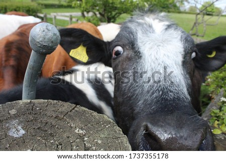 A cow pulling a really funny face. So many captions could be placed against this photo.