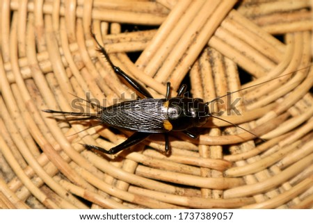 Black crickets or insects with black wings and black bodies