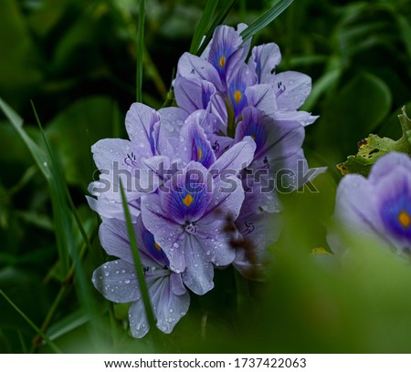 This is a picture of flower of water hyacinth. Flowers are covered with rain drops. background is covered with the leaves of same aquatic plant. Picture has awesome foreground and background blur. #1737422063