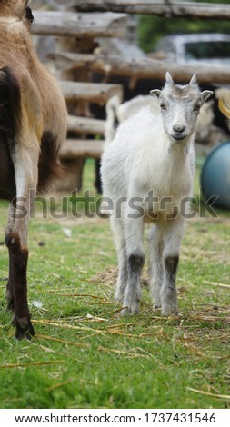 Picture of a baby goat close to hits mother goat